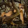 Female lion slepping in tree, Lake Manyara, Tanzania, Kjerstin Ferm Widlund, Feb 2014