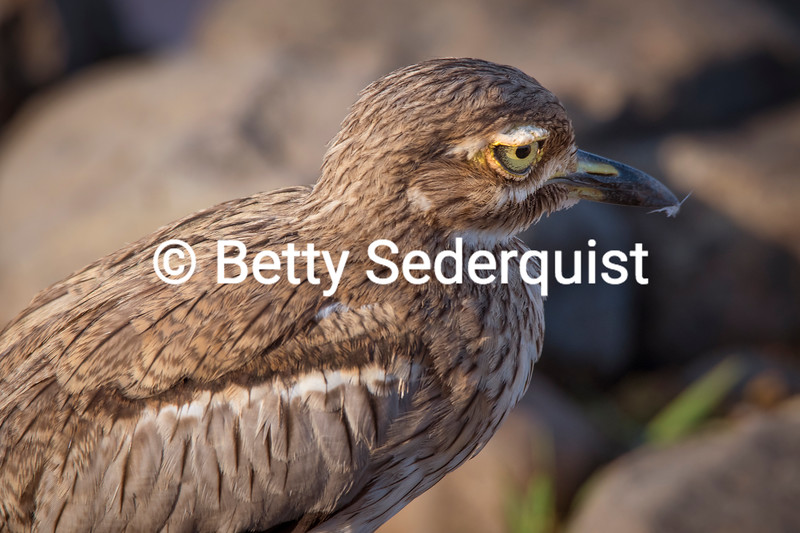 Thick Knee Curlew