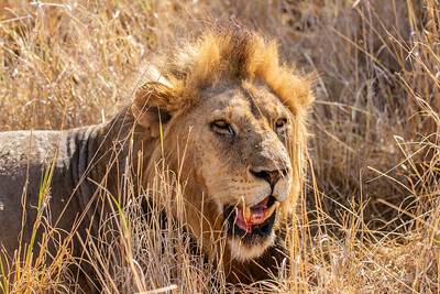 Male lion relaxing after kill in Tarangire National Park