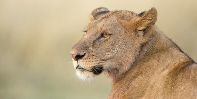 Lioness warming up in early morning sunlight, Serengeti National Park