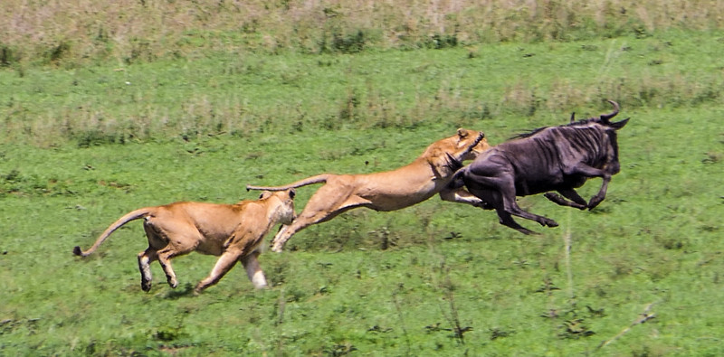 Two lionesses making wildebeest kill in the Serengeti by Ling Ma in Mar 2017.