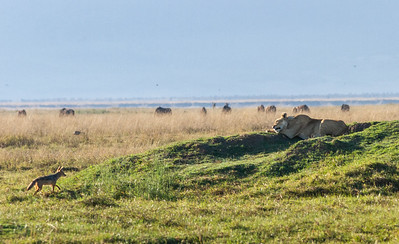 Tiny jackal faces off against lioness in Ngorongoro Crater