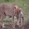 Cheetah mother and cub play on the Serengeti Plains at Ndutu, Tanzania. By Doug Cheeseman taken in February 2009.