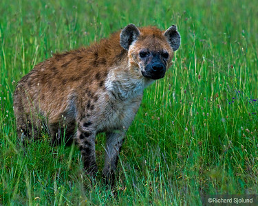 A Hyena in Tanzania