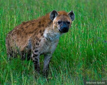 A Hyena in Tanzania