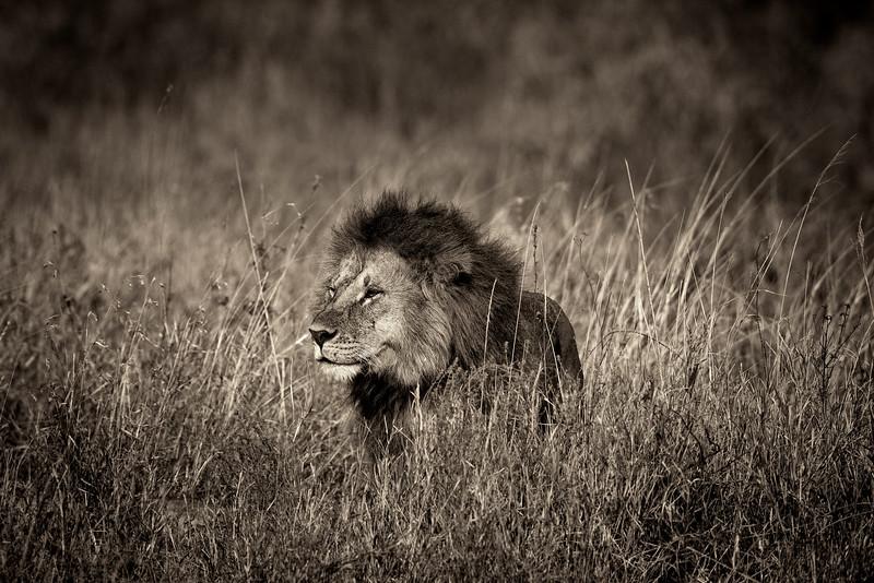 Lion 7542