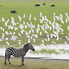 Common Zebra ignoring the flock of Cattle Egrets flying by in the Ngorongoro Crater. February 9, 2018. Debra Herst