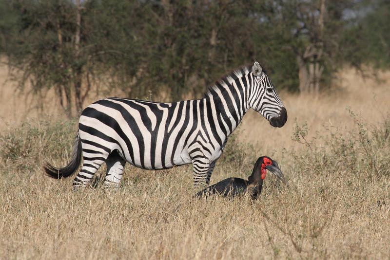 Zebra and Ground Hornbill