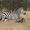 Zebra and Ground Hornbill