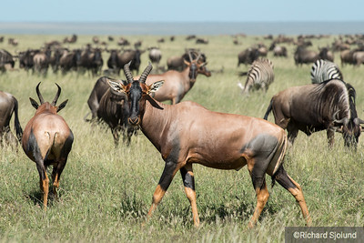 Hartebeest in Tanzania