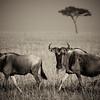 Wildebeest _MG_8947b