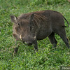 A Warthog with Tusks in Tanzania