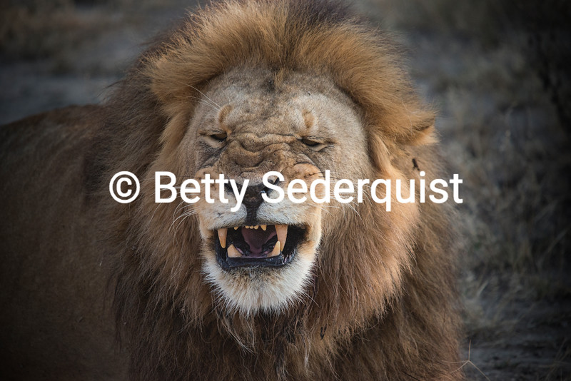 Sneezing Lion, Ndutu