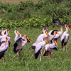 Yellow-billed Storks in breeding plumage by Ling Ma in Mar 2017.