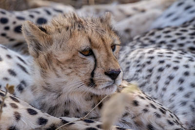 Cheetah cub in Serengeti National Park