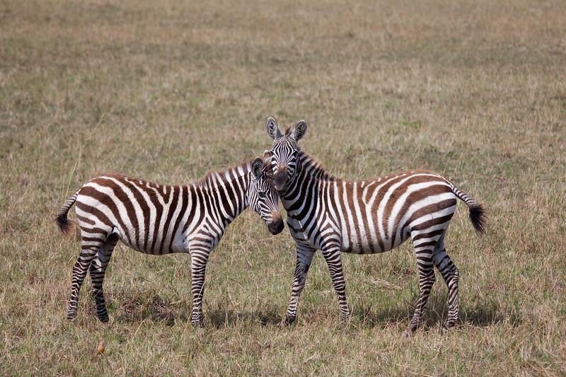 Zebras _MG_9029