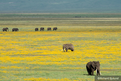 Elephants with long tusks in the Ngorongoro Crater in Tanzania