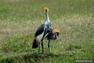 Grey-Crowned Cranes in the Ngorongoro Crater in Tanzania
