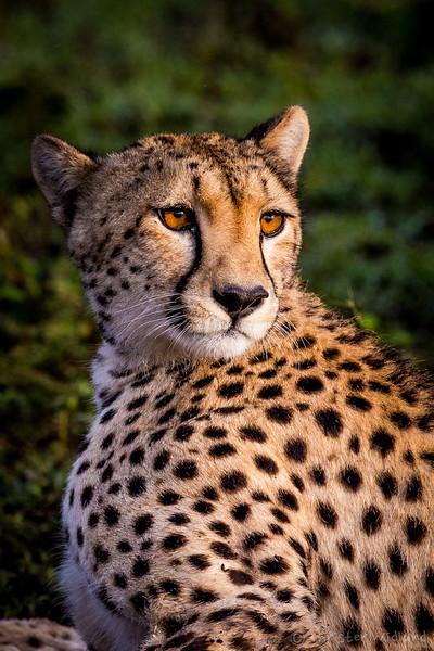 Cheetah, Ndutu, Tanzania, Christer Widlund, Febr. 2014.