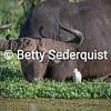Cattle Egret and Cape Buffalo