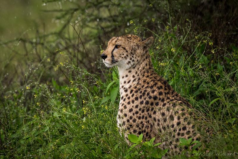Cheetah in the rain, Ndutu, Tanzania, Christer Widlund, Febr. 2014.