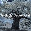 Baobab Splendor