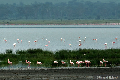 Flamingos in the Ngorongoro Crater in Tanzania