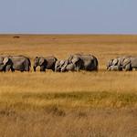 Elephants _MG_7591 (10x30)