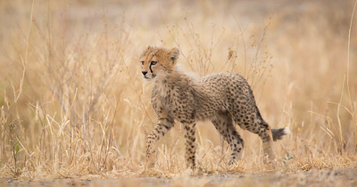 Cheetah cub-of-the-year in grass, Tarangire National Park