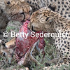 Three Cheetah Cubs Fight for Food