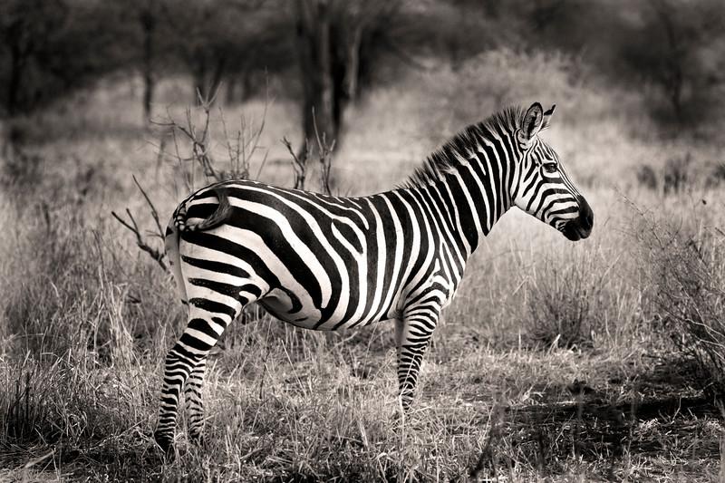 Zebra 0935