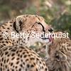 Mama Cheetah Bathes her Cub