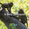 Playing Baby Baboons