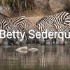 Zebras at Waterhole, Serengeti