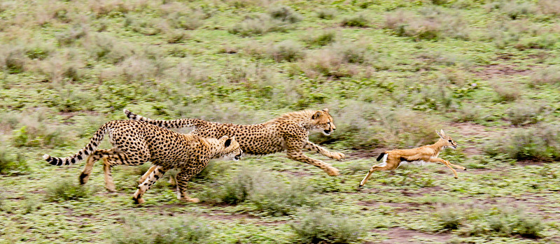 Two cheetah cubs chasing a Thompson's Gazelle calf by Ling Ma in Mar 2017.
