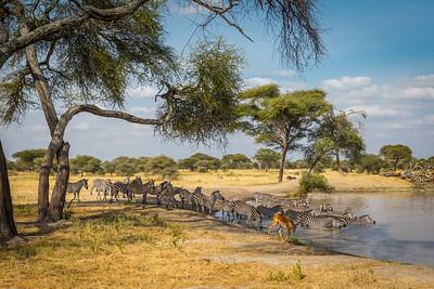 Zebras & Impala