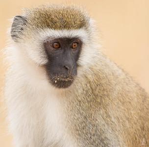 Vervet Monkey, Tarangire National Park
