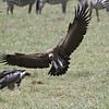 White-Backed Vulture coming in for it's share of the carcass in the Nogorongoro Crater. February 10, 2018.  Debra Herst