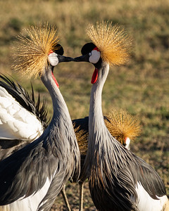 Crowned cranes kissing in Ngorongoro Crater