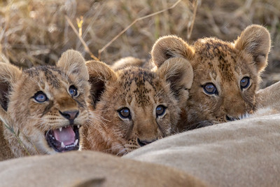 Three little lion cubs in Serengeti National Park