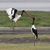 Saddle-Billed Stork pair, female with yellow eye