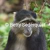 Blue Monkey Portrait