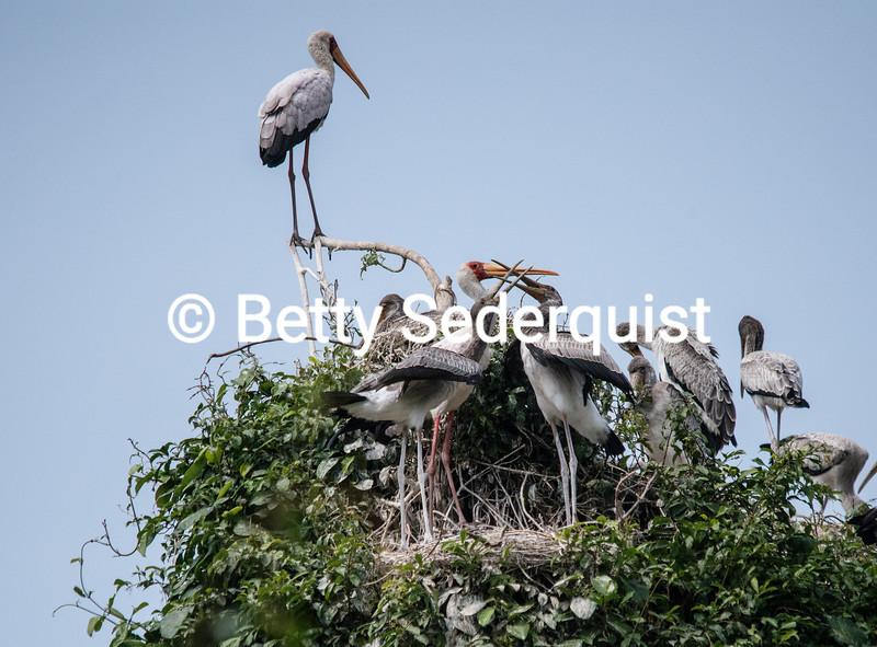 White Storks Sparring