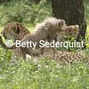 Cavorting Baby Cheetahs