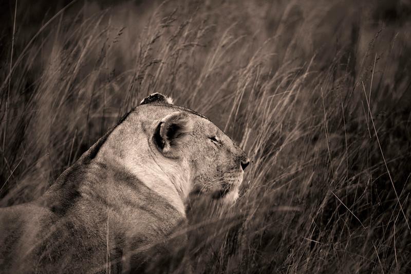 Lion Portrait 9217 s