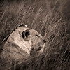 Lion Portrait 9217 s