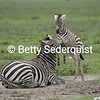 Feisty Baby Zebra, Ngorongoro