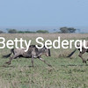 Running Wildebeest, Serengeti