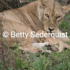 Mom and Month old Lion Cubs, Serengeti