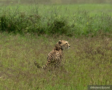 Cheeta in the Ngorongoro Crater Tanzania